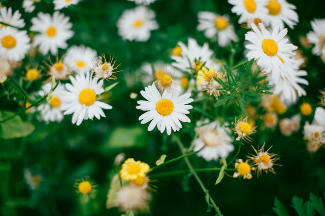daisy-640